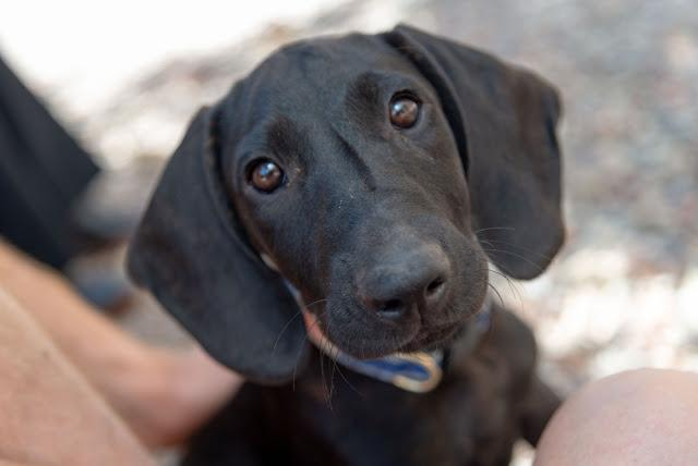 Plott Hound Dog Puppy Rescued from Texas Arrive at Colorado Animal Shelter Looking for Adoption and a Forever Home