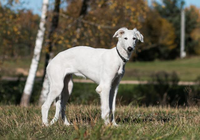 Borzoi dog puppy posing outside in beautiful autumn. Russian wolfhound white.