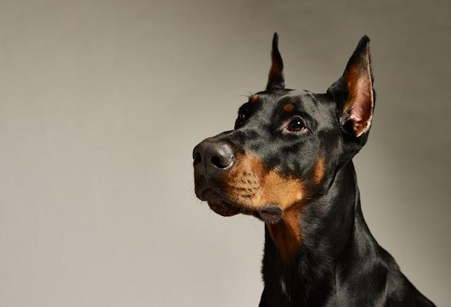 Close-up portrait of doberman on a gray background