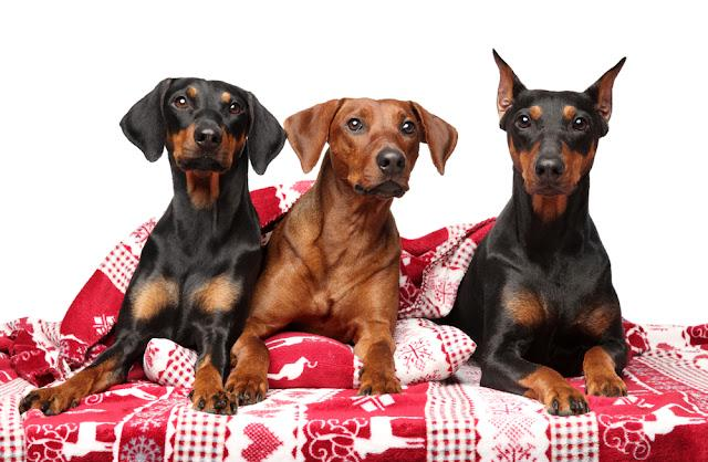 A group of German Pinchers lying under a blanket on a white background. Animal themes