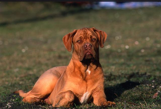 Young bordeaux mastiff dog, lying on a meadow