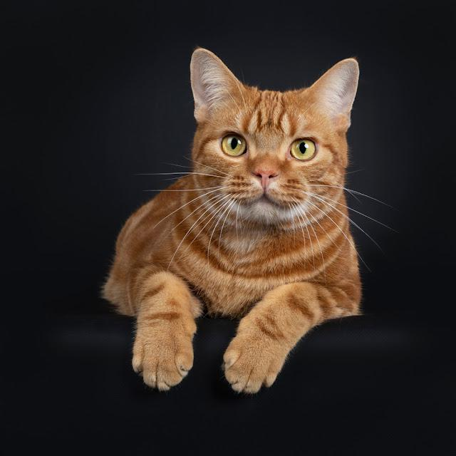 Adorable young adult red tabby American Shorthair cat, laying down with front paws hanging over edge. Looking at lens with yellow / green eyes. Isolated on a black background.