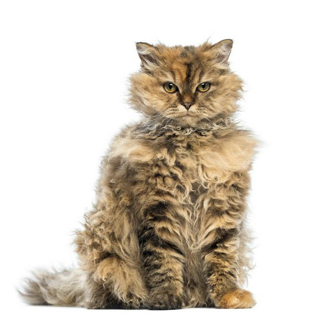 Selkirk Rex, 5 months old, sitting and looking at camera with evil look against white background