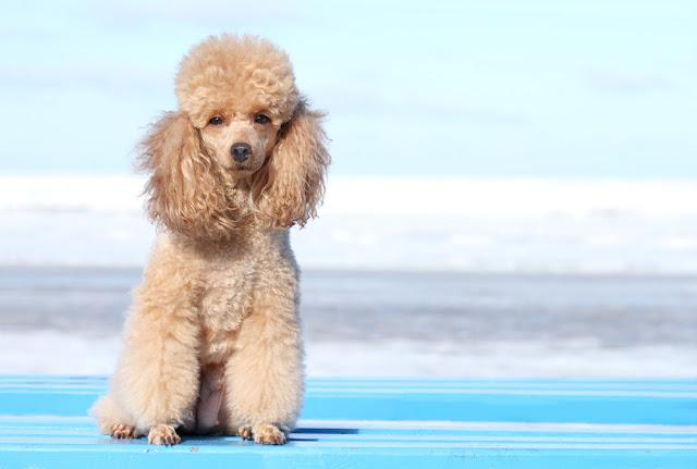 Miniature poodle. Outdoor portrait on the blue sky