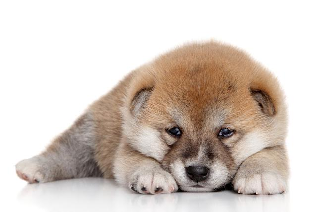 Japanese Shiba-inu puppy resting on a white background