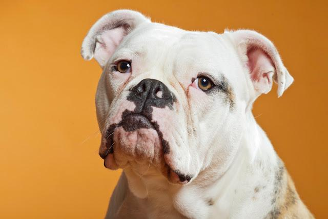 Mixed breed american and old english bulldog. Studio shot.