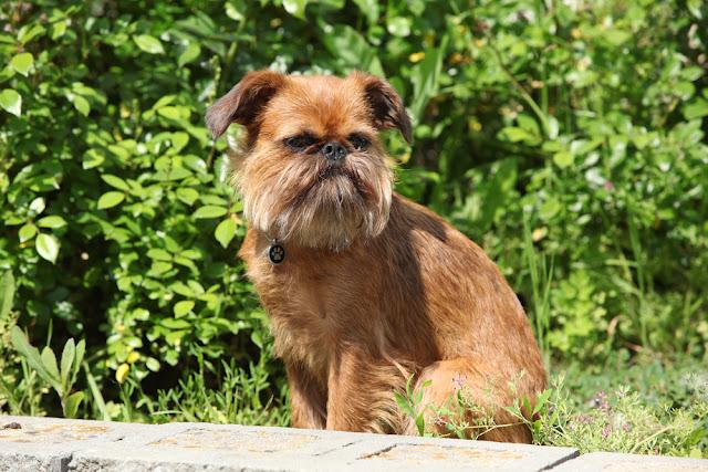 Young Brussels Griffon in front of green background