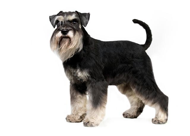 miniature schnauzer in white background