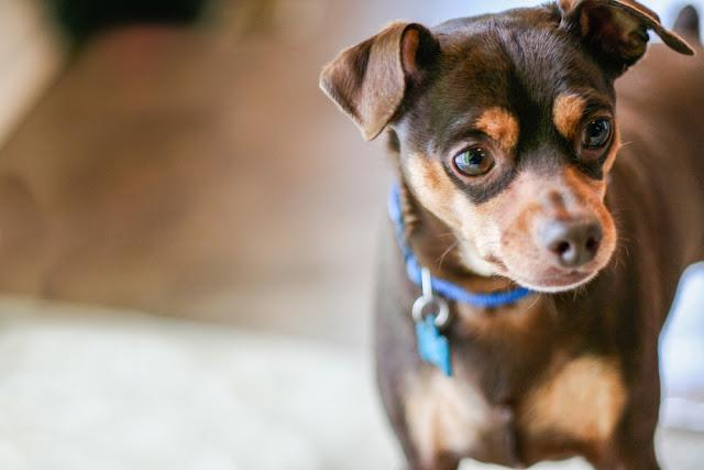 Small male miniature pinscher dog with brown and tan fur and blue collar with tag.