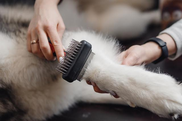 White dog paw with long claws combed at special brush.