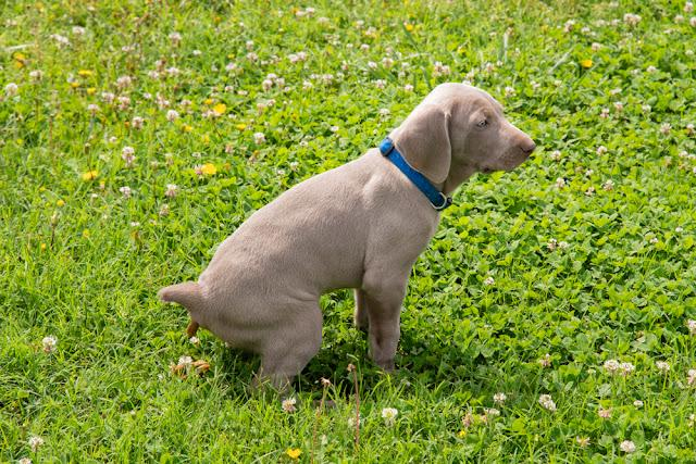 Young Weimaraner puppy pooping in grass