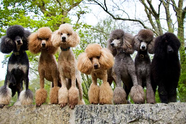 Group of red, apricot, silver and black standard poodles standing on a wall.