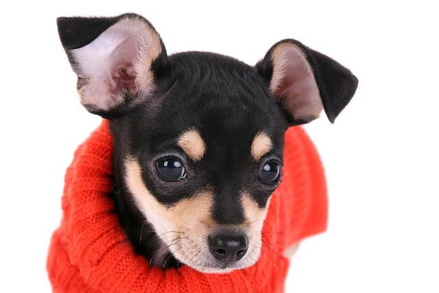 Chihuahua with sweater