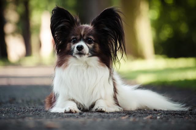 Small and very cute Papillon