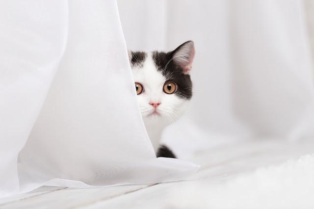Cat behind the curtain