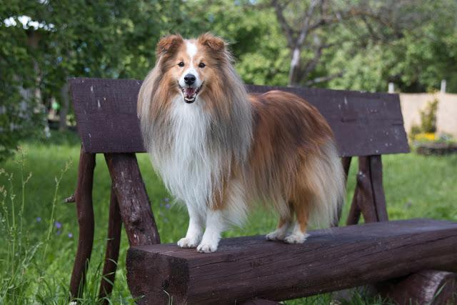 Summer portrait of sweet cute and smiling sable and white shetland sheepdog, sheltie standing outside on a wooden bench. Little lassie dog outdoors on bench, small collie with green background