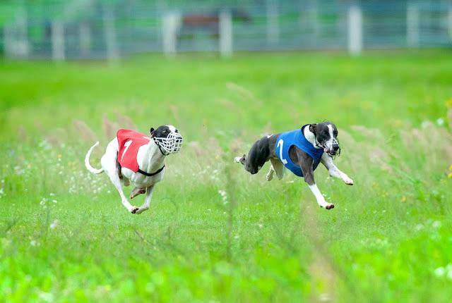whippet dogs during the race in fast movement