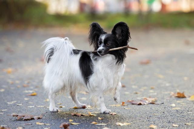 adorable papillon dog posing outdoors