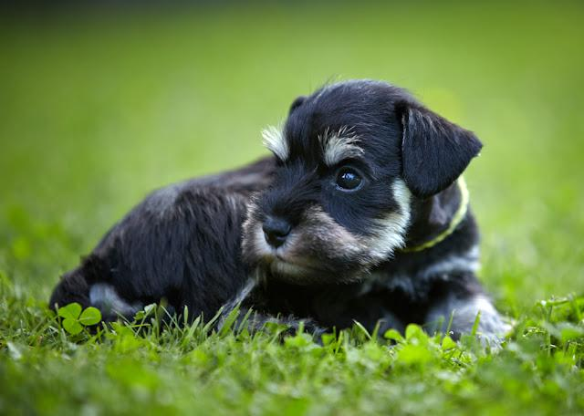 miniature schnauzer puppy in a green grass
