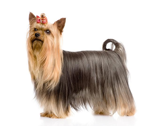 Yorkshire Terrier standing in profile. isolated on white background