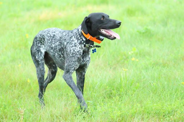 German shorthair pointer in a field