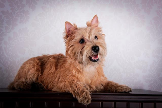 Cairn Terrier dog in the hay, wheat