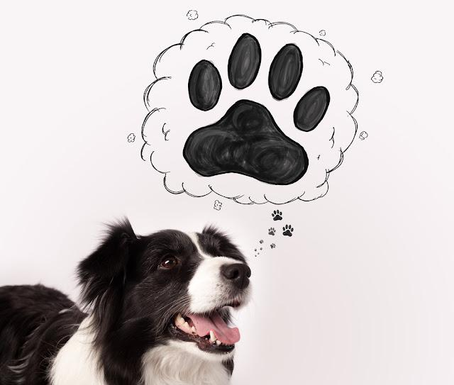 Cute black and white border collie thinking about a paw in a thought bubble above her head