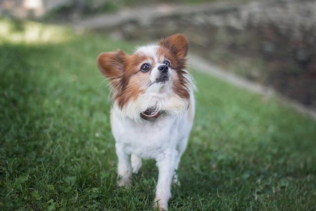 portrait of a dog breed named papillon also known as continental toy spaniel looking at its owner