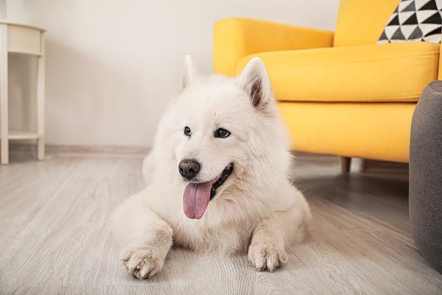 Cute Samoyed dog at home