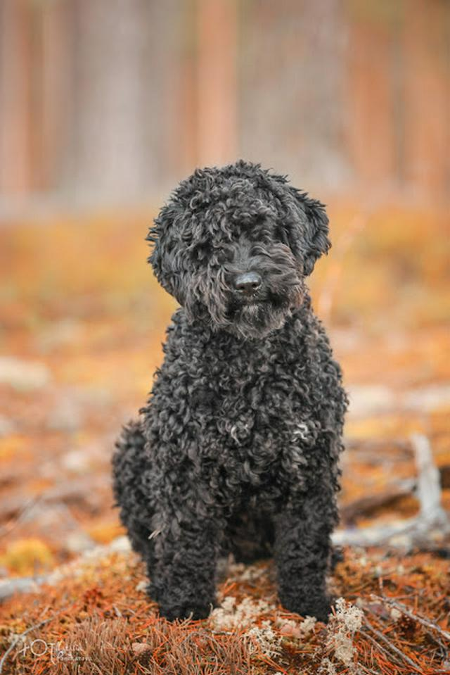 puppy spanish water dog black