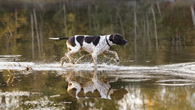 Dog english pointer crossing the river in the autumn