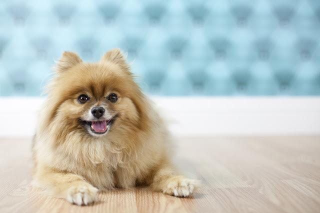 Pomeranian posing for studio portrait with aqua background on hardwood floor