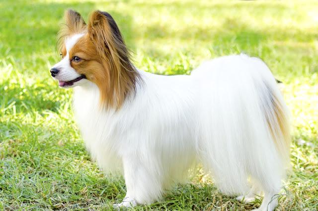 A small white and red papillon dog (aka Continental toy spaniel) standing on the grass looking very friendly and beautiful