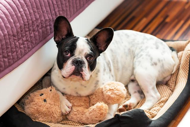 French bulldog with teddy bear in bed