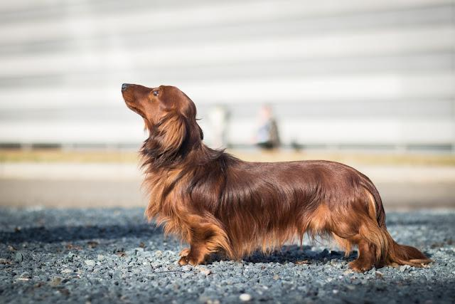 adorable portrait of amazing healthy and happy dachshund in the exhibition stand