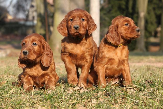 Irish Red Setter Puppies sitting together in nature