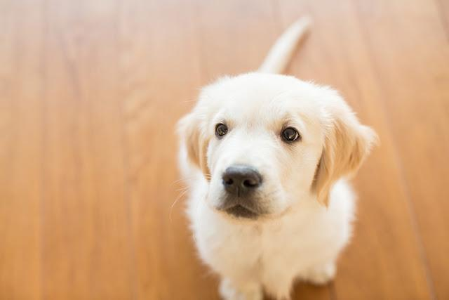 Golden retriever puppy looking up