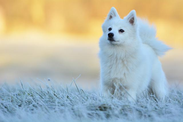 Miyu, young female Japanese Spitz, focused on her owner on a frosty winter morning.