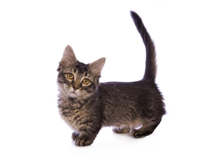 Cute tabby Munchkin cat with big gold eyes side view isolated on white background