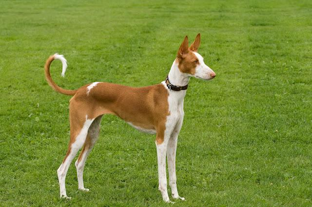 Ibizan Hound standing posed to perfection