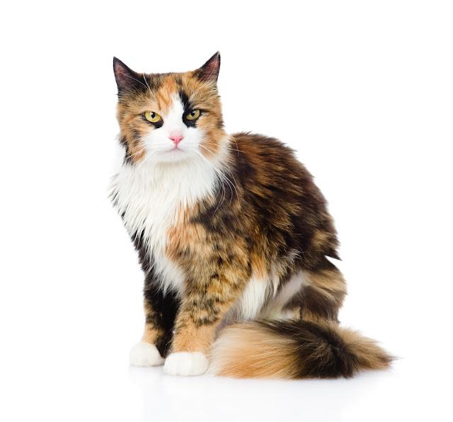 Calico cat sitting and looking at camera. isolated on white background