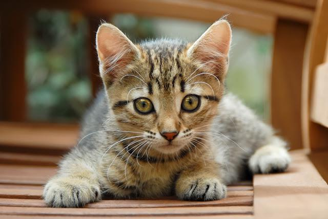 A cute brown tabby kitten, European Shorthair, Germany