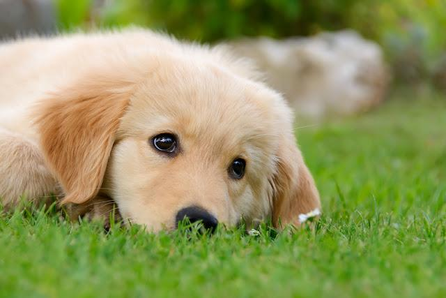 A cute Golden Retriever puppy resting in a meadow
