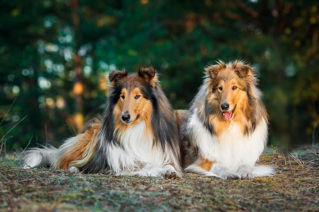 Two rough collies lying in the park