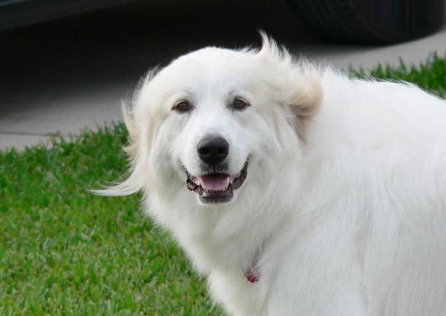 Portrait of Great Pyrenees dog