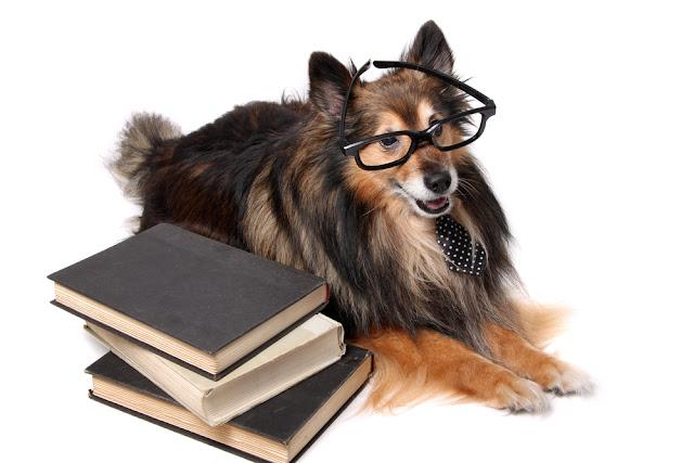 Sheltie or Shetland Sheepdog wearing a tie and glasses laying by a pile of text books