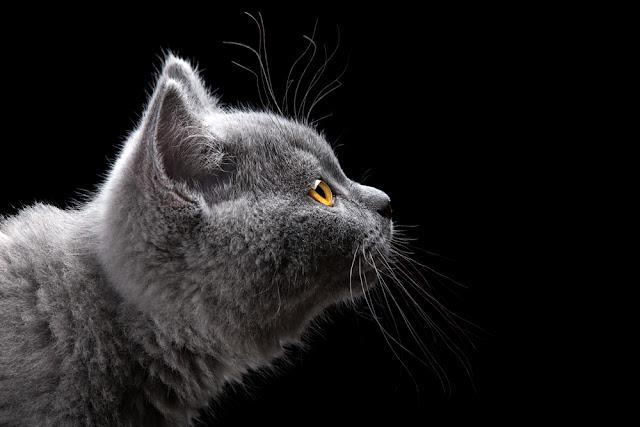 portrait of british short hair kitten on black background