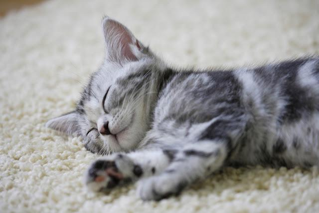 An Image of American Shorthair
