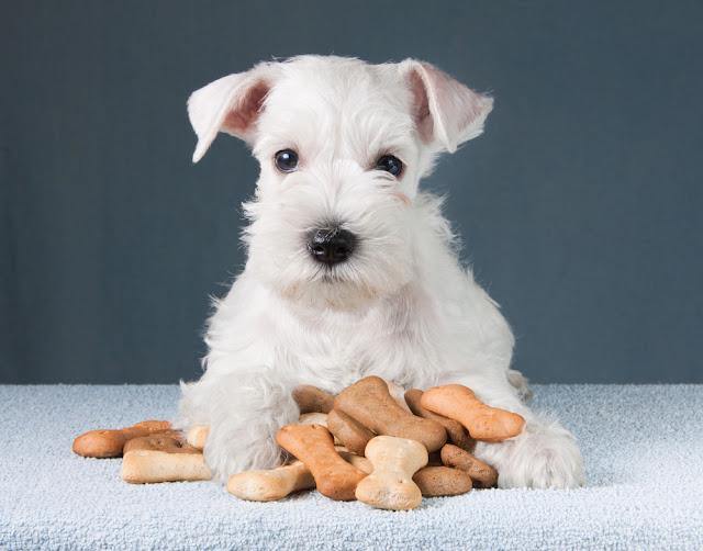 Little schnauzer puppy with dog biscuits bones
