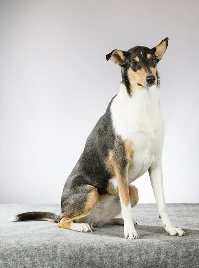 Smooth collie posing for camera in a studio.